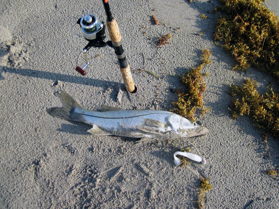 Snookjuno 1234 for Juno pier fishing report